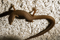 Skink Lizard Royalty Free Stock Photo