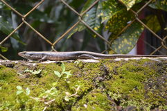 Skink lizard. In a garden in South India Royalty Free Stock Photography