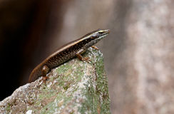 Skink lizard on a rock Stock Photography