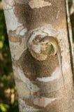 Skink Macchiolina-lipped sul ceppo dell'albero, Kenya, Africa orientale Fotografie Stock