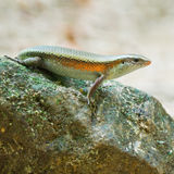 Skink. Many-lined Sun Skink (Common Slender Skink, Common Slender Skink, Green Crested Lizard), standing on the rock Royalty Free Stock Image