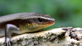 Skink in nature. stock footage