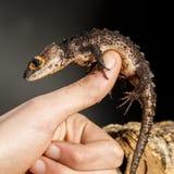 Skink observado rojo del cocodrilo en la mano Imagen de archivo libre de regalías