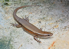 The skink Royalty Free Stock Images
