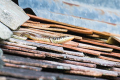 Skink. On the old stone roof Stock Images