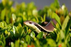 Skink osservato serpente Fotografia Stock Libera da Diritti