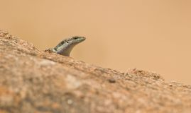 Skink peeping over the rock Royalty Free Stock Photography