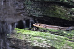 Skink is in rocky nook. Stock Images