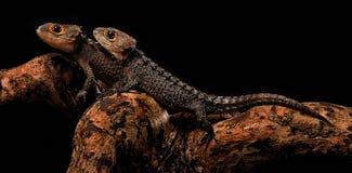 Skink rojo del cocodrilo del ojo fotografiado con el fondo negro imagenes de archivo