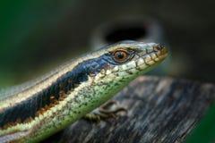 Skink Scincidae,close up Skink ,Reptile. Stock Image