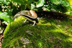 Skink Scincidae jaszczurka z zielonym tłem Zdjęcie Stock