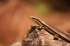 Skink Stock Images