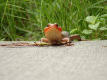 Skink on sidewalk Stock Photo