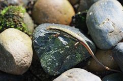 Skink on stone Stock Images