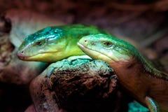 Skink Tanimbar, зеленая ящерица стоя на куске дерева стоковые фото