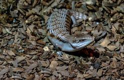 Skink Tongued blu Fotografia Stock Libera da Diritti