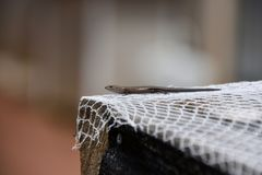 Skink on White Netting. Small skink on white netting Stock Image