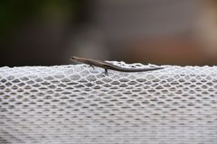 Skink on White Netting. Small skink on white netting Royalty Free Stock Photography