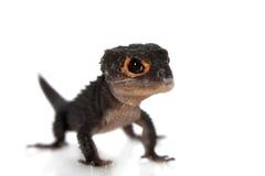 Skinks aux yeux rouges de crocodile, tribolonotus gracilis, sur le blanc Image libre de droits