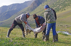 Skinning sheep. Shepherds are skinning dead sheep in National park Beshtash in Talas region in Kyrgyzstan Stock Image