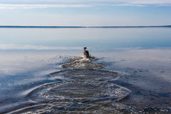 Skinny black dog. Black dog with joy jumping into the cold water in the shallows Stock Image