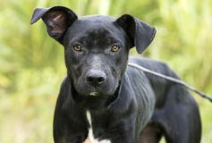 Skinny black Lab Pitbull mix breed dog adoption photograph. In heat female Pit Bull and Labrador mixed breed dog outdoors on leash. Thin and skinny, flakey skin Stock Photos