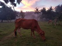 Skinny cows at Cebu. This skinny cow was eating right after the sunset in the field of this remote place of Cebu Royalty Free Stock Photo
