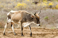 Skinny Domestic Cow Royalty Free Stock Photos