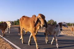Family cow walk on street passing rice field. Skinny family cow walk on street passing rice field royalty free stock photo