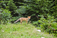 Skinny fox in the wild Royalty Free Stock Images
