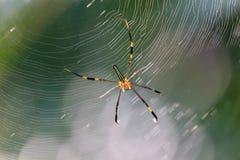 Skinny garden spider Royalty Free Stock Photos