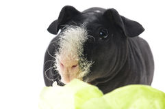 Skinny guinea pig Royalty Free Stock Photography