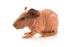 Skinny guinea pig Stock Images