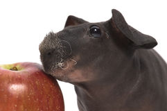 Skinny guinea pig with apple Stock Photography