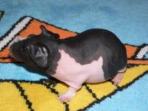 Skinny guinea pig Royalty Free Stock Photos