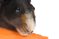 Skinny guinea pig with carrot on white background Stock Photography