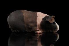 Skinny Guinea pig on isolated black background Stock Image