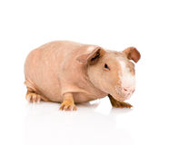 Skinny guinea pig lying in front. isolated on white background Royalty Free Stock Images