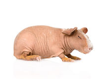 Skinny guinea pig lying in profile. isolated on white background Royalty Free Stock Images
