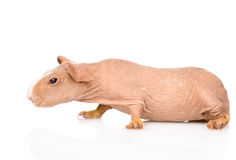 Skinny guinea pig lying in profile. isolated on white background Stock Images