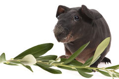 Skinny guinea pig and olive branch Royalty Free Stock Image