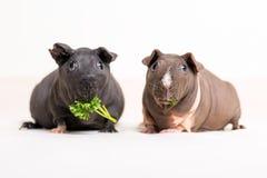 Skinny guinea pig Stock Images