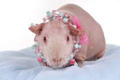 Skinny Guinea Pig on a Pillow Royalty Free Stock Photo