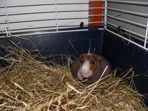 Skinny guinea pig Royalty Free Stock Image