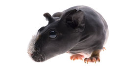 Skinny guinea pig on white background Royalty Free Stock Photography