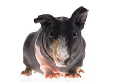 Skinny guinea pig on white background Stock Images