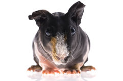 Skinny guinea pig on white background Royalty Free Stock Images