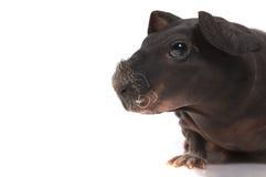 Skinny guinea pig on white background Royalty Free Stock Photos