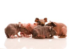 Skinny guinea pigs Stock Images