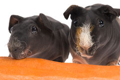 Skinny guinea pigs with carrot on white background Stock Photography